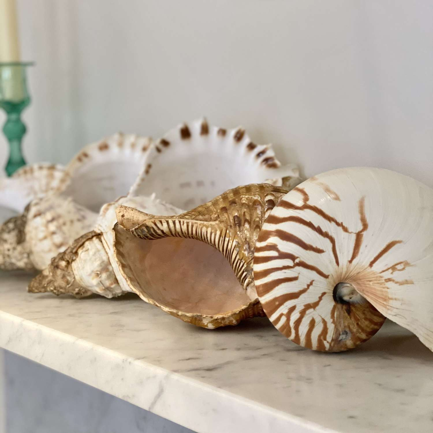Vintage large Conch and Nautilus seashell collection